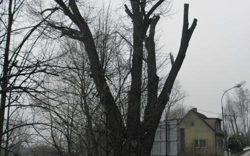 pamatny_strom_podsrpenska_lipa_10.3._2021.jpg
