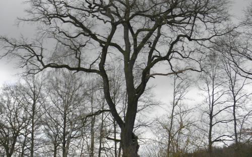 pamatny_strom_dvojcata_princezny_hedviky_poskozeny_18.3.2021.jpg
