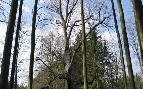 pamatna_strom_lipa_svate_ludmily_u_volyne_26.3.2021.jpg