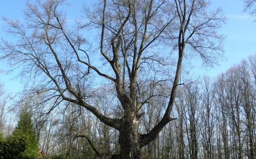 pamatny_strom_lipa_nadeje_na_lomci_8.4._2021.jpg